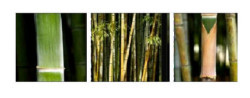 Bamboos by Laurent Pinsard