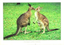 The Kangaroo symbol of Australia by John Xiong