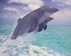Synchronized Dolphins