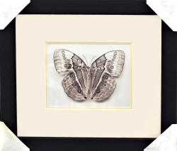 Stichopthalma Louisa (Framed Butterfly) by Raquel Edwards