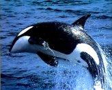T13-Killer Whale