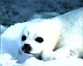 T20-Snow Seal
